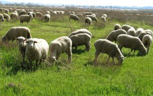 2010_11_02_sheep_in_pasture