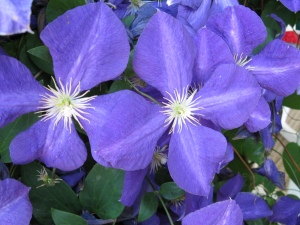 Post 2001 08 01 Clematis IMG_1000