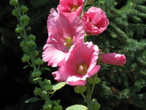 Post 2011 08 04 Hollyhocks IMG_0982