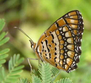 butterfly1j