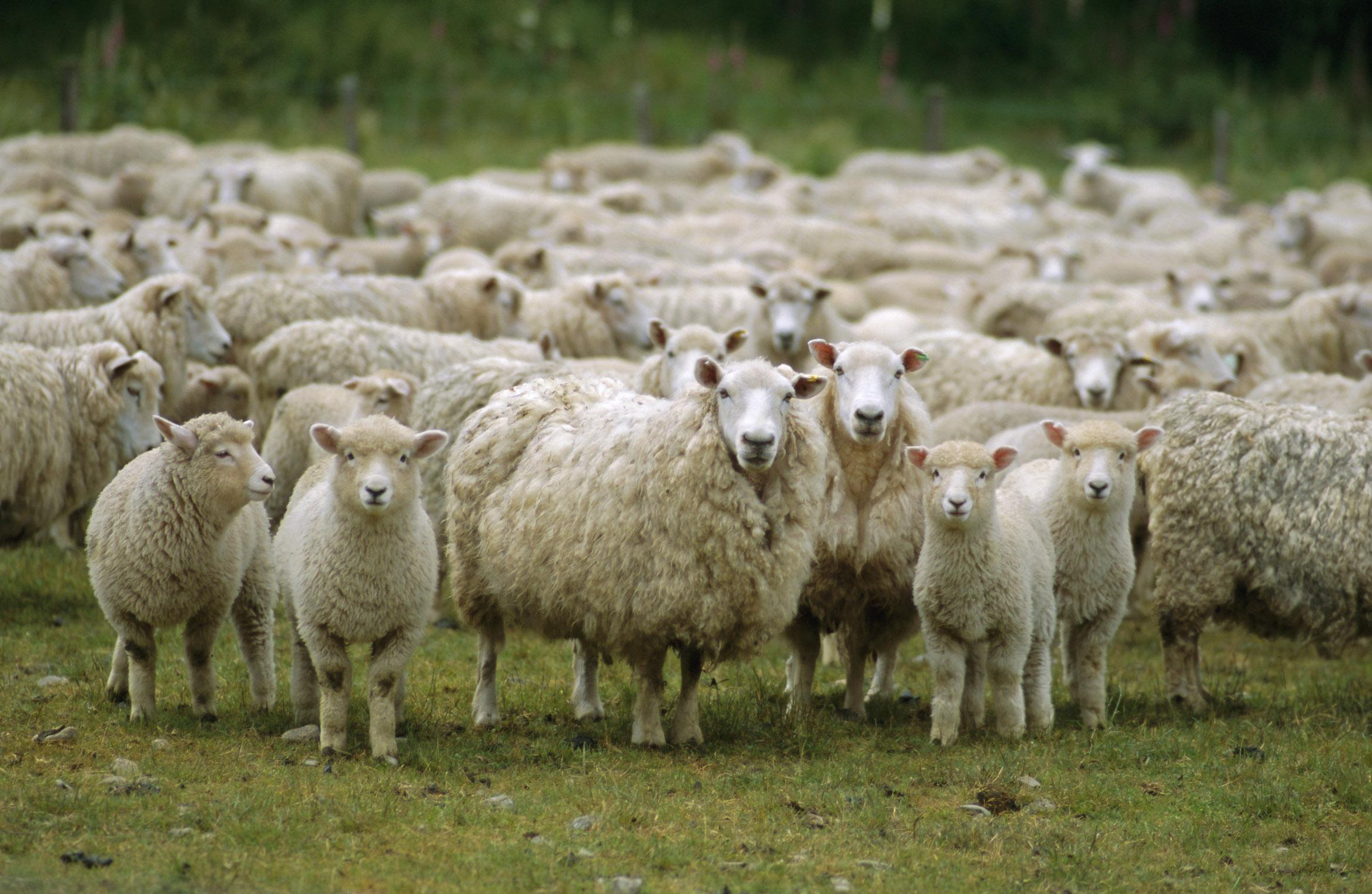Flock of sheep