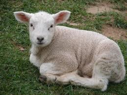 Post 2011 12 17 lamb 4 imagesCAGGEKSE