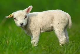 Post 2012 01 07 Lamb