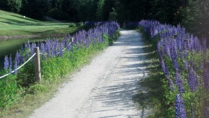 Post 2012-06-19 Lupine Path