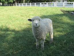 Post 2014 03 04 sheep