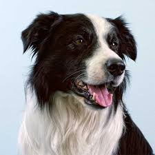 border-collie-a